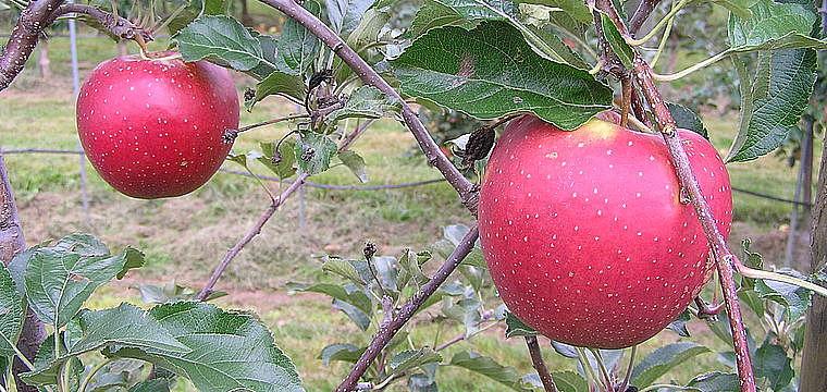 Erlebnis Apfelbäume veredeln